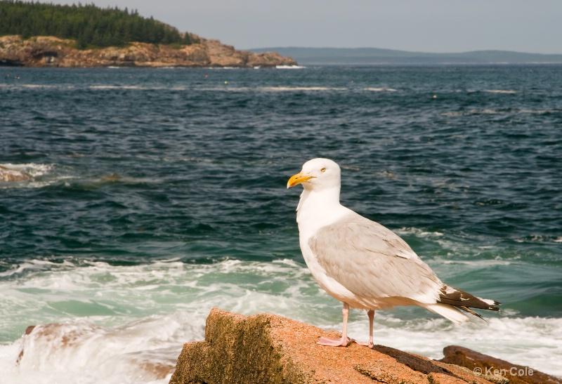 Seagull at Acadia