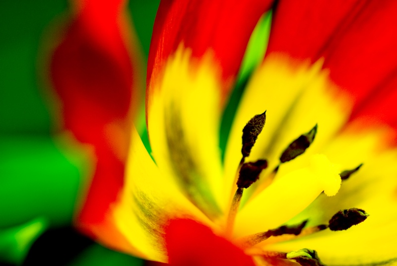Heart of a Tulip