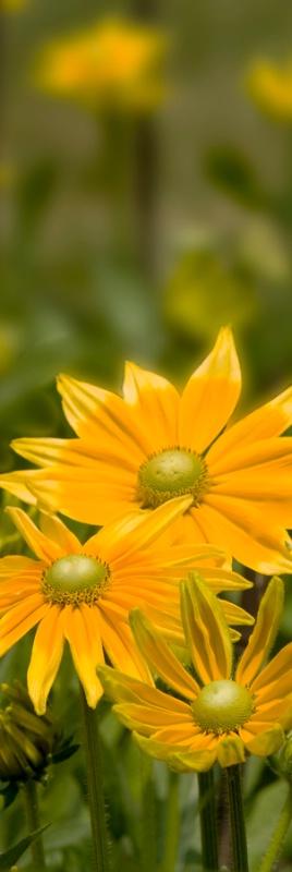 Gloriosa Daisies -  Vertical