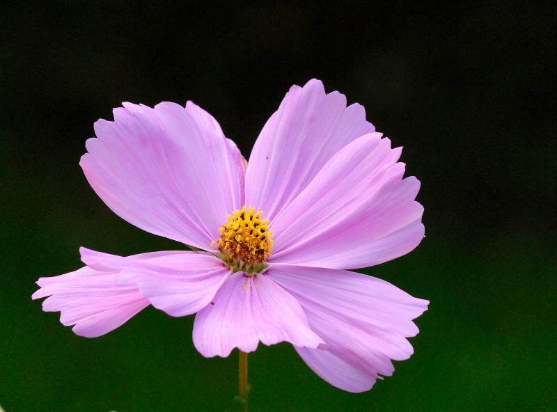 Cosmos flowers#4