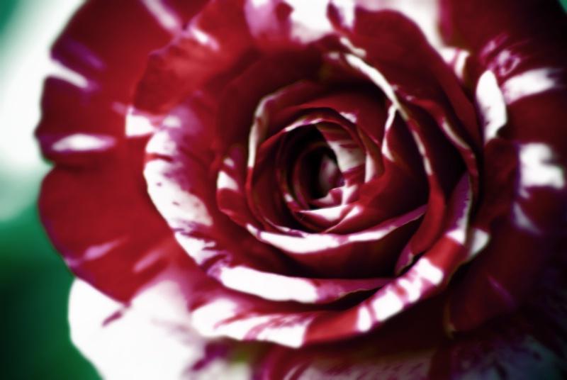 A Candy Striped Rose
