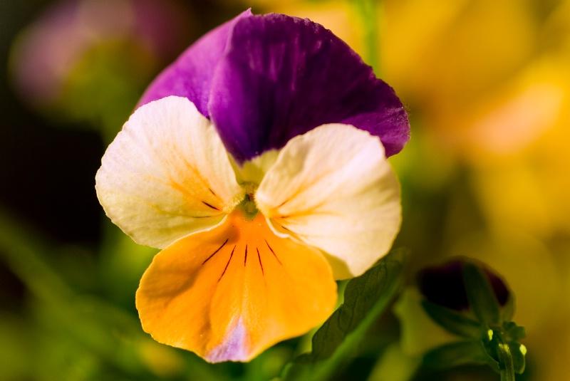 Tri-Colored Violet