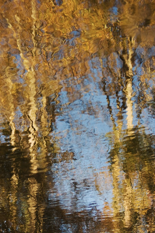 Sycamore Reflections