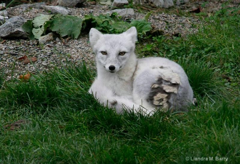 Shedding fox