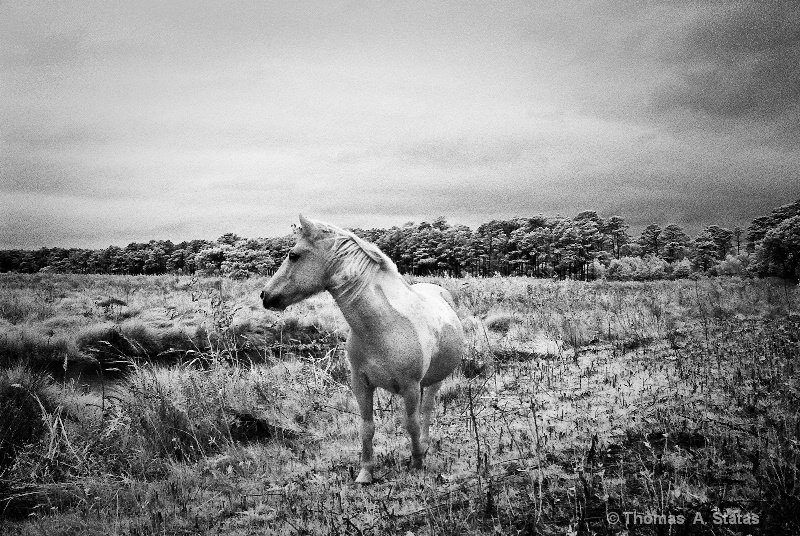 Wild Pony of Chincoteaque