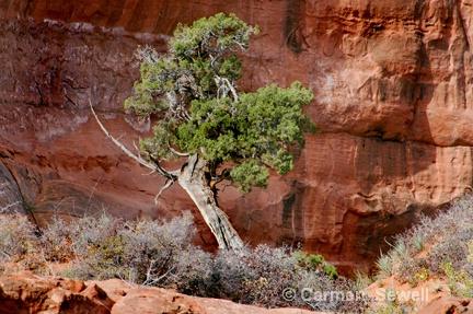 Lone Pine Tree, Monument Valley Az