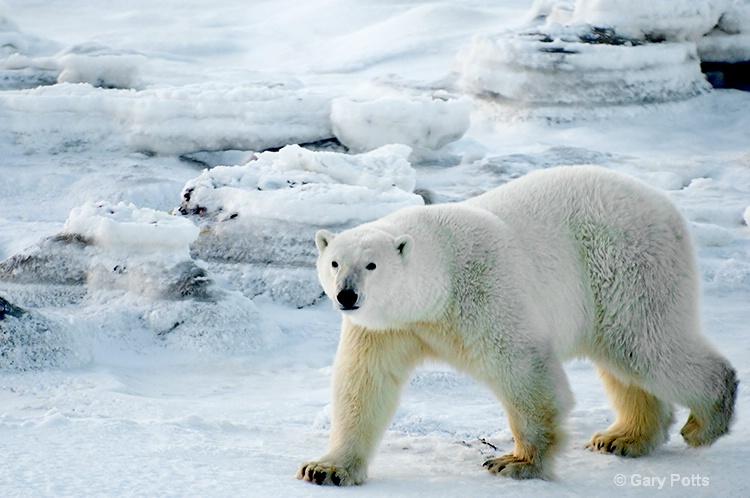 Polar Prowl