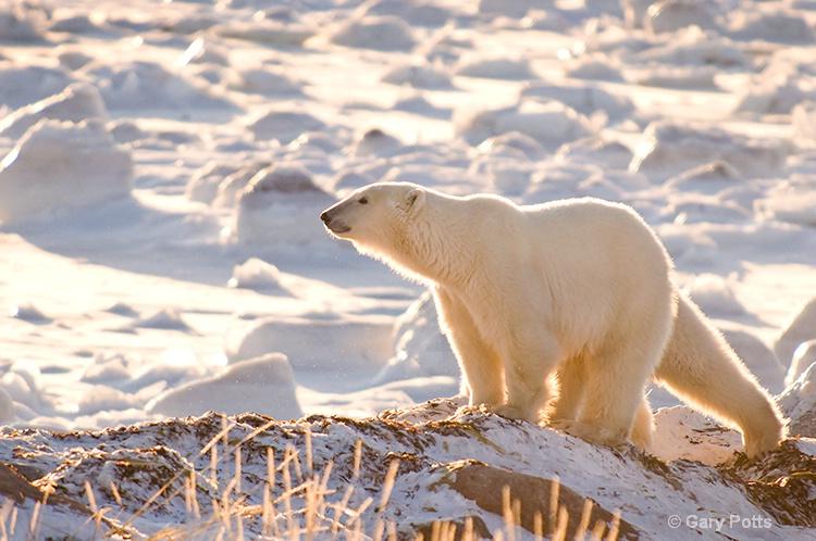 Five-legged Polar Bear