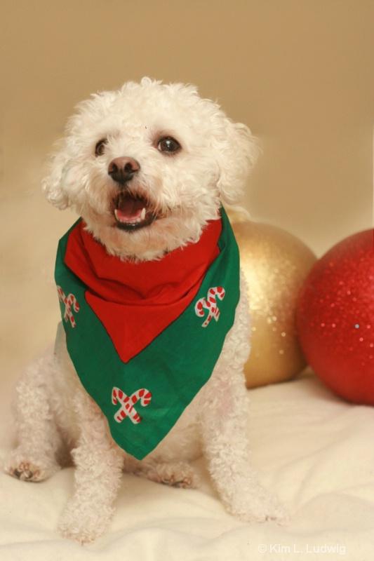 A Bichon Christmas
