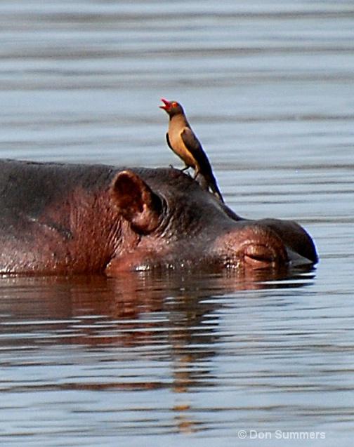 Hippo & Friend, Akagera N.P. Rwanda 2008
