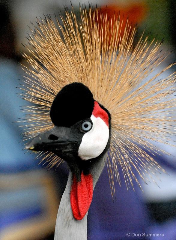 West African Crowned Crane, Rwanda 2008