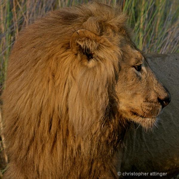 BOB_0007 - lion male head side view