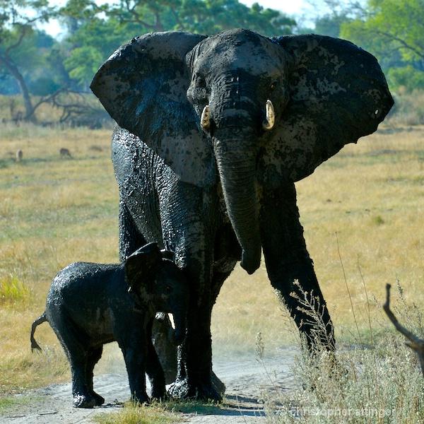 BOA_0291 - mother & elephant calf