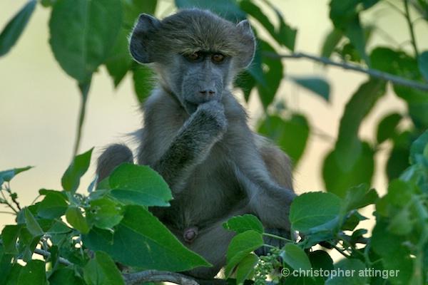 BOB_0012 - baboon baby