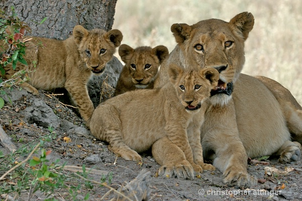 BOB_0088 - lion mother and 3 cubs