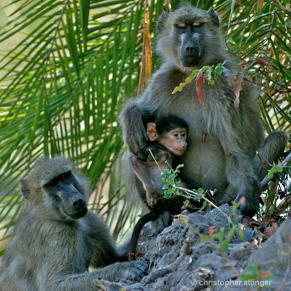 BOB_0116 - baboon family group