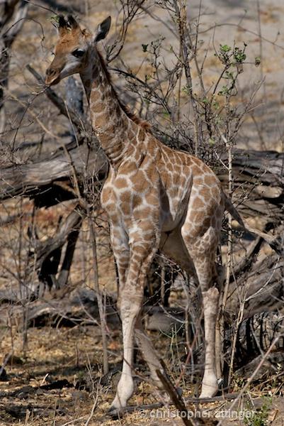 BOB_0118 - baby giraffe calf