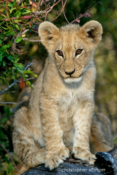 BOB_0146- baby lion