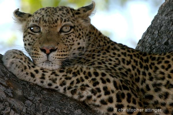 BOB_0251 - leopard lying on tree branch