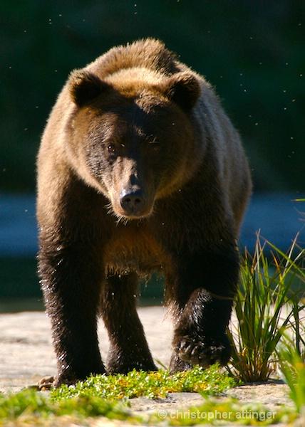 DSC_0005 - Brown bear walking on beach