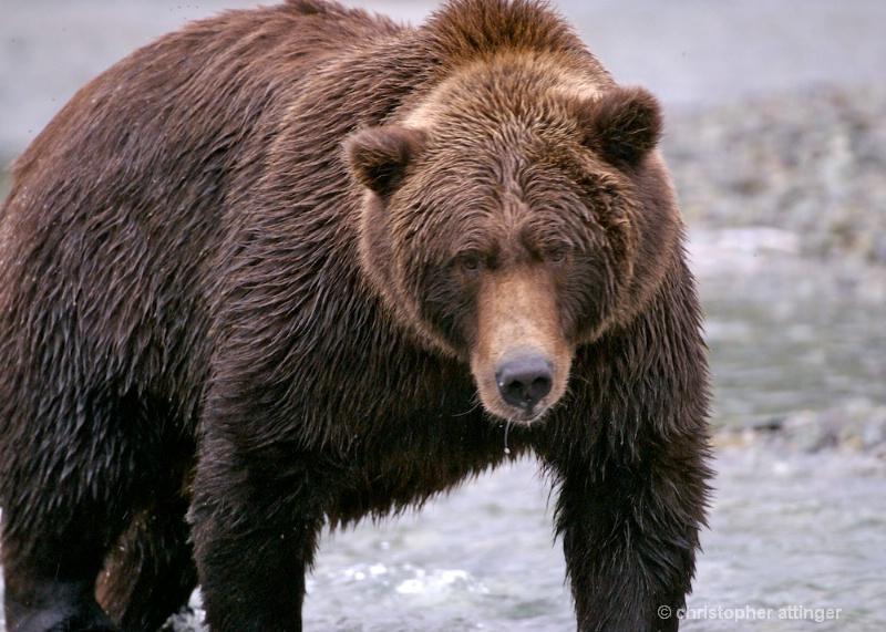 DSC_ 0133 - Larger brown bear walking up river