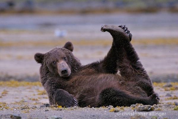 DSC_0056 series #4:  2 yr. brown bear stretching