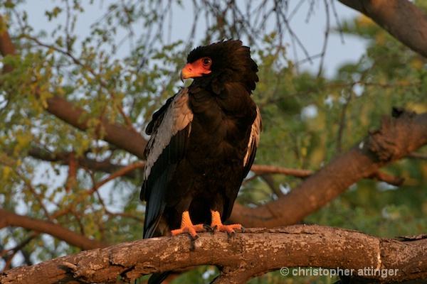 BOB-0086 - Bateleur eagle