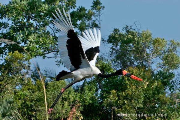 BOB_0105 - Saddle billed stork