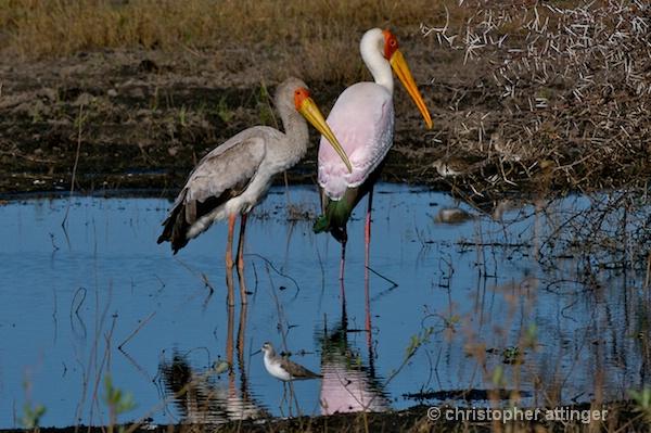 BOB_0131 - Yellow billed storks