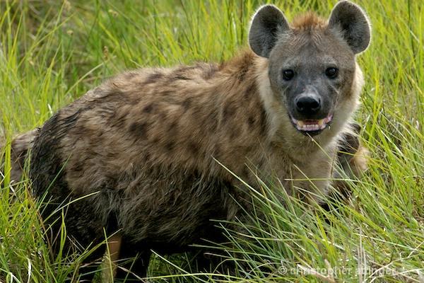 BOA0144 Hyena in the tall grass