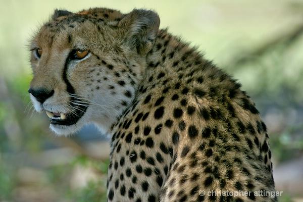 _BOB0008 cheetah head