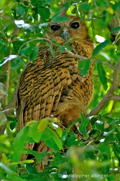 _BOB0022 Pel's fishing owl