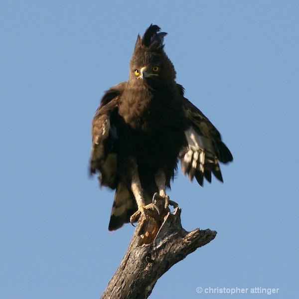_BOB0051 long crested eagle