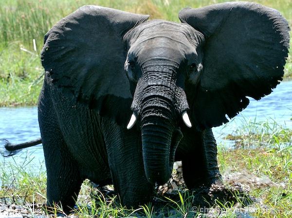 _BOB0067 charging elephant