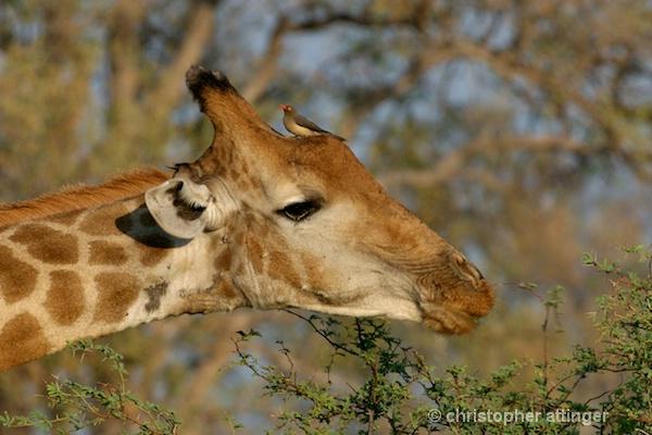 _BOB0118 lateral head of giraffe with oxpecker