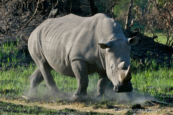 _BOB0238 Southern White Rhinoceros