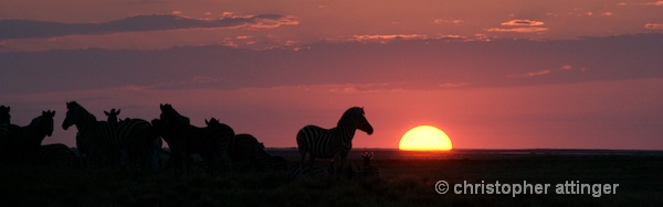 _BOB0284 Dazzle of zebras at sunset