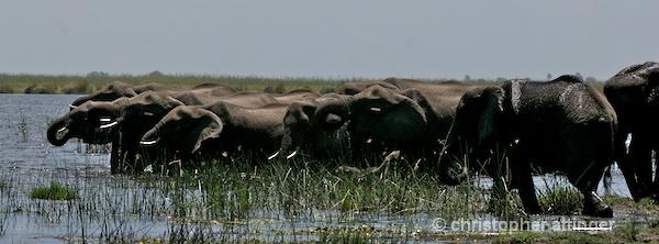 _BOB0450 elephant herd drinking