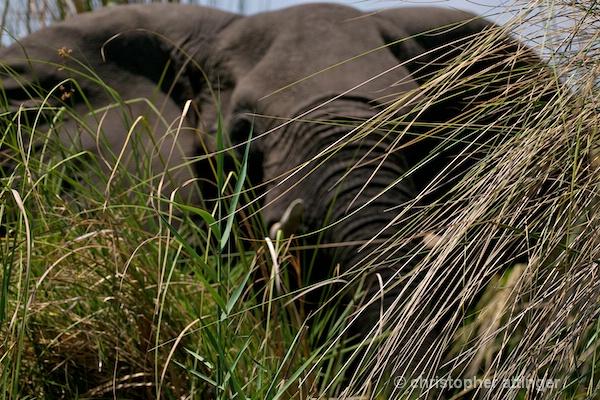 _BOB0484 bull elephant in high grass