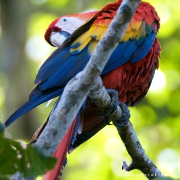 DSC_1076 Scarlet macaw