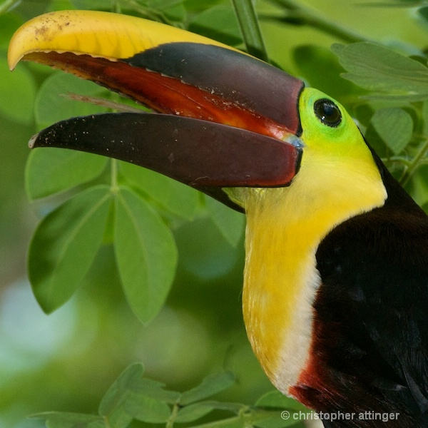 DSC_1222 Chestnut mandibled toucan