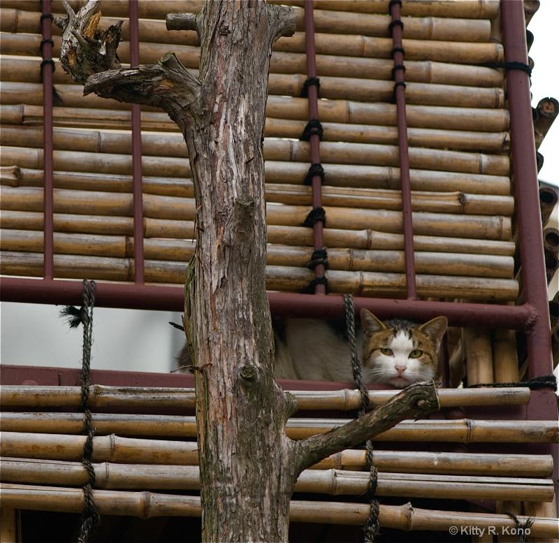 Peeking Kitty Cat