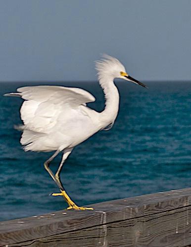 Snowy Egret on Display