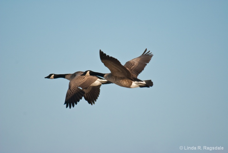 Candian Geese in flight