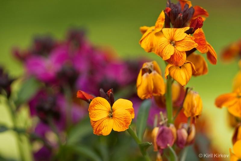 gillyflower1