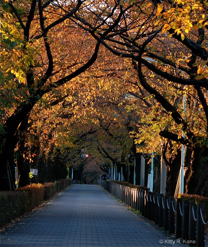 Cherry Trees in Fall - Aoyama Cemetery