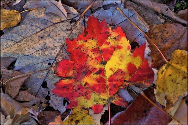 Bright Red Fall Leaf card