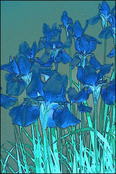 Irises Reverse card