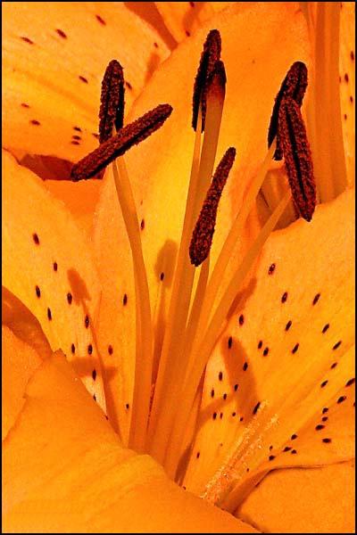 Orange Iris Center card