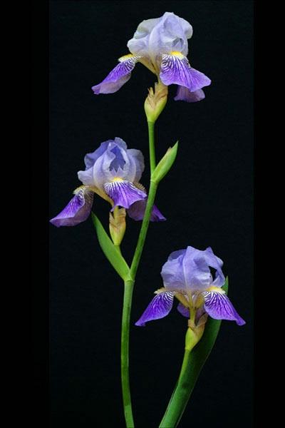 Purple Irises card